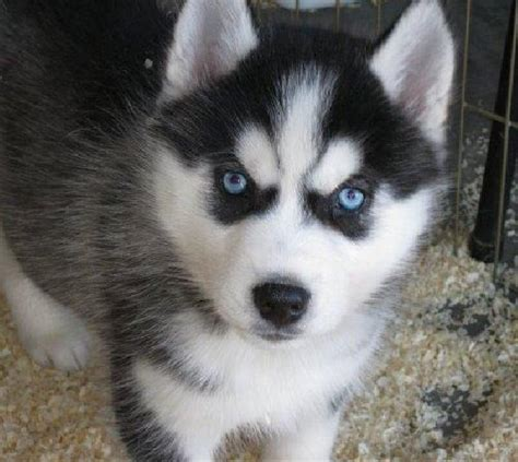 husky puppies with blue for sale husky puppies with blue for sale wallpaper