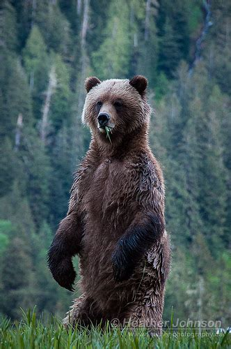 female grizzly bear standing flickr photo sharing