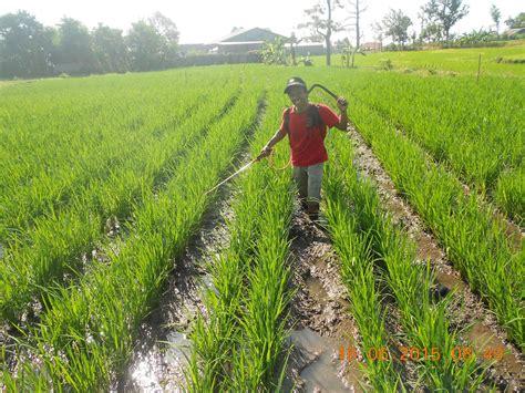 Pupuk Kalsium Untuk Padi agritani aplikasi dan dosis pupuk tanaman padi