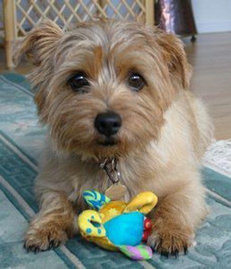 norfolk terrier puppies 25 best ideas about norfolk terrier on terriers terrier and mongrel