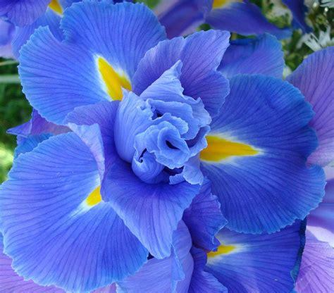 fiori iris lemiepiante enciclopedia dei fiori e delle piante