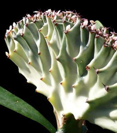 Kaktus Hias Euphorbia Lactea Ka53 crested euphorbias cactus jungle