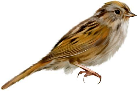 sparrow clipart song sparrow clipart png transparent pencil and in color