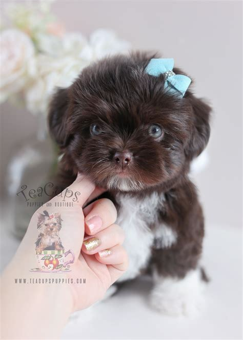 teacup shih tzu puppies for sale in south florida shih tzu puppies in broward teacups puppies boutique