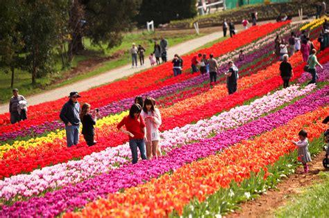 festival pictures photos tesselaar tulip festival