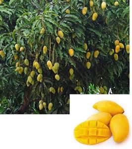 Patio Garden Containers - mango nam doc mai mangifera indica hybrid new plants for 2017