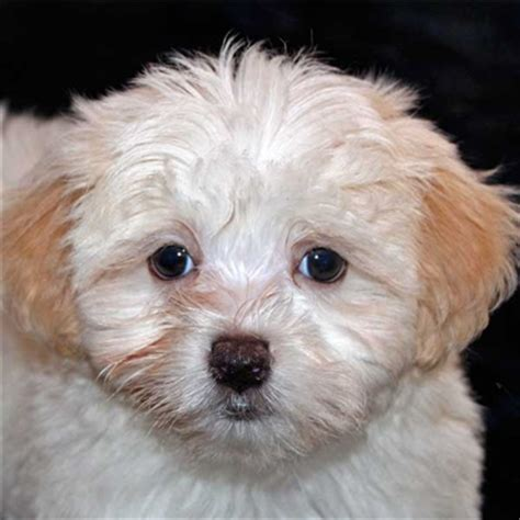havanese puppies for sale florida havanese puppy for sale in boca raton south florida
