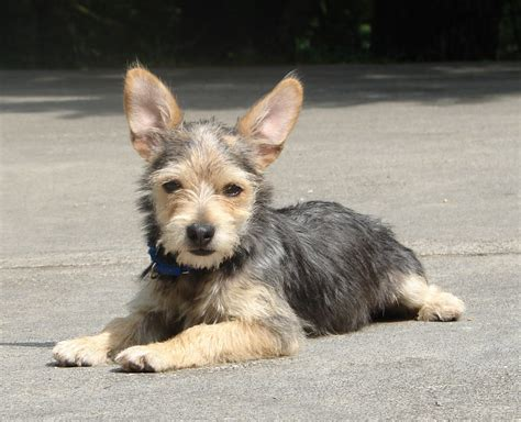 yorkie german shepherd german shepherd yorkie mix breeds picture