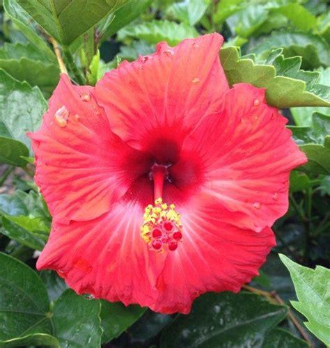 hibiscus splendens mm pot dawsons garden world
