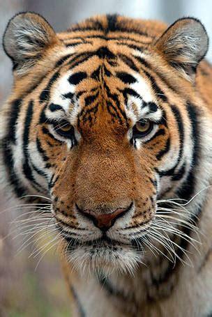 tiger denmark wwf denmark tiger