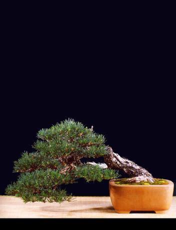 ubi lecco pin il circolo bonsai lecco festeggia i 25 anni di