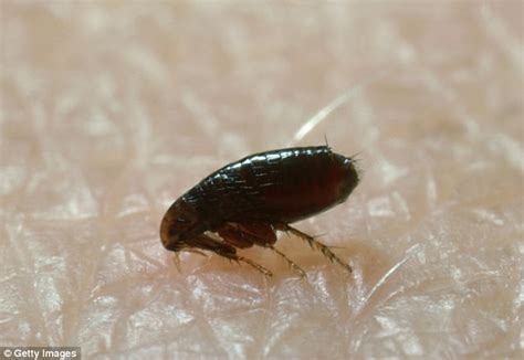do bed bugs jump like fleas rats were not to blame for europe s black death