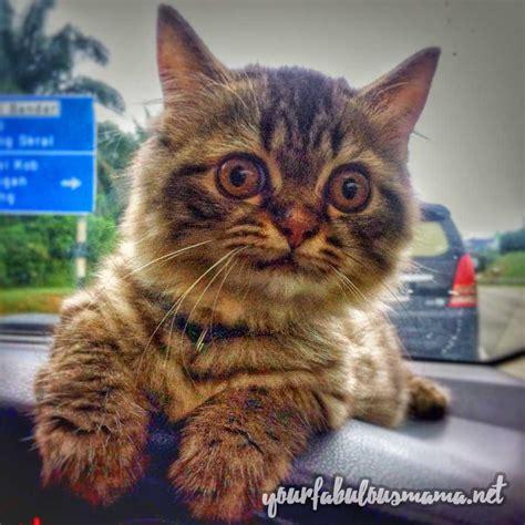 cara hilangkan kutu kucing dengan cepat dan sangat berkesan