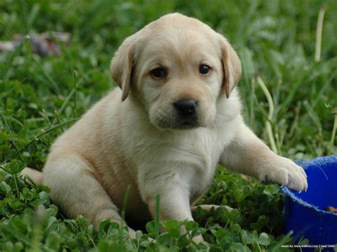 pictures of labrador puppies lovely labrador retriever puppy photo and wallpaper beautiful lovely labrador