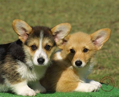 mini corgi puppies 17 best ideas about corgi puppies on corgi pembroke