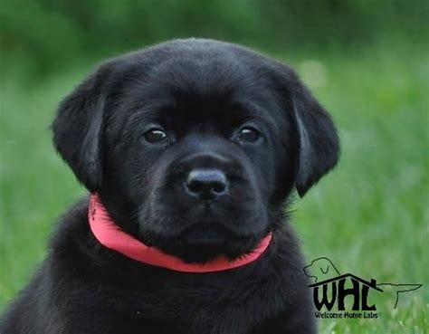 lab puppies for sale in mn labrador puppies for sale mn lab puppies minneapolis lab pups mn welcome home