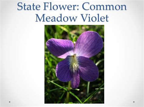 new jersey state flower common meadow violet new jersey highlights