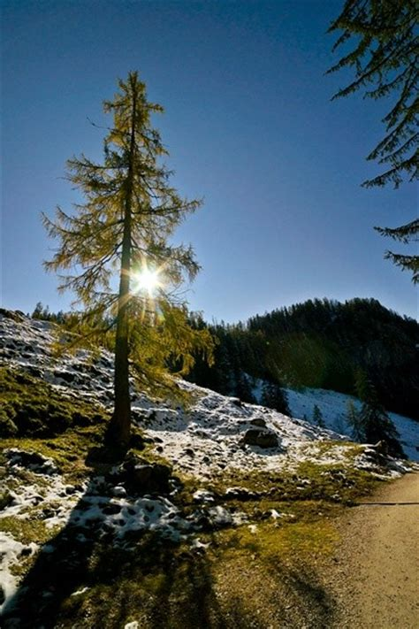 Baum Des Jahres 2012 5368 by Baum Des Jahres 2012 Die Europ 228 Ische L 228 Rche Larix Decidua