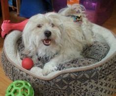 havanese rescue md adoptable dogs mostly havanese on havanese dogs lhasa apso and adoption