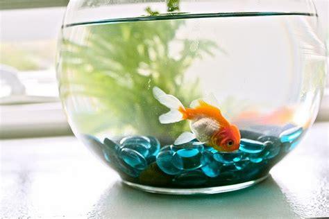 Jual Aquarium Mini Bulat by Great Gold Fish Tank Ideas Aquarium Addicts Anonymous