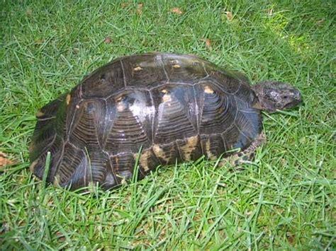 alimentazione tartaruga terrestre tarta rughe testudo marginata