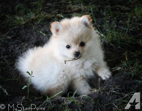 pomeranian akc akc ckc pomeranian puppies for sale in pattonsburg missouri classified