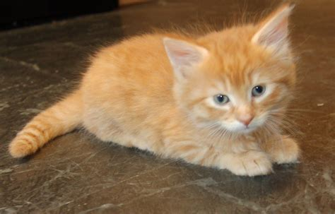 Long haired kittens. Ginger male and tri female