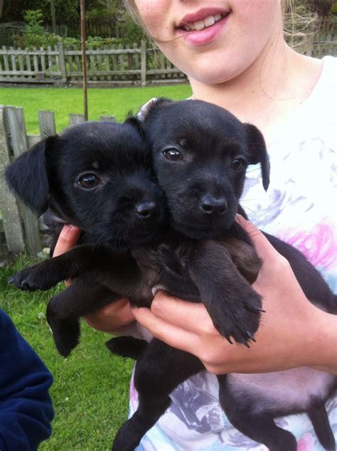 patterdale puppies patterdale puppies for sale bradford west