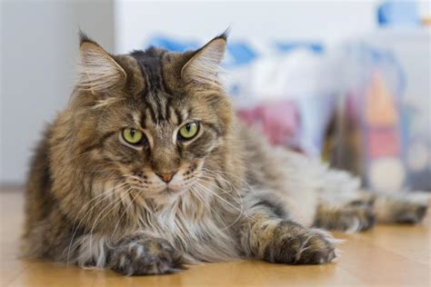 About The Maine Coon Cat Breed   About Cat Breeds
