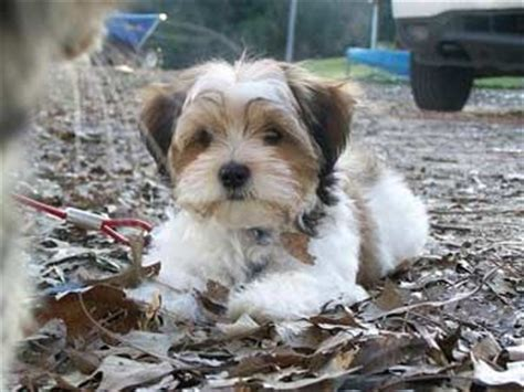 shih tzu mixed with yorkie for sale best 25 yorkie shih tzu mix ideas on