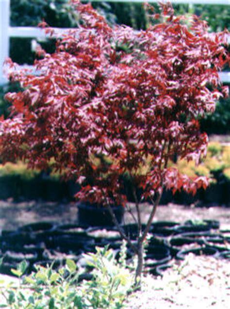gallery for gt japanese maple tree varieties