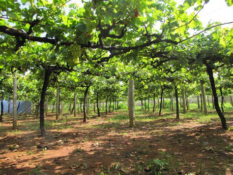 Grape Garden by File Grape Garden Jpg