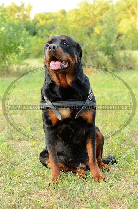 harness for rottweiler buy felt padded leather rottweiler harness pulling walking