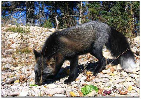 Pet Cross Fox Pendek renard argent 233 et crois 233 menier anticosti