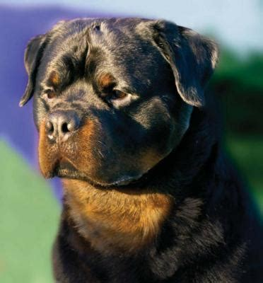 marlos rottweilers marlo s bello soldato rottweiler nation