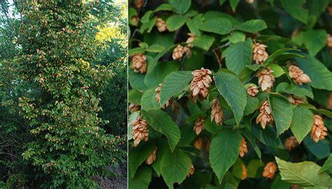 fruit tree nursery oregon ostrya virginiana landscape plants oregon state