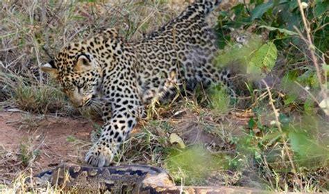 kutipan filem ular dua ekor harimau bintang menyerang ular sawa gergasi di