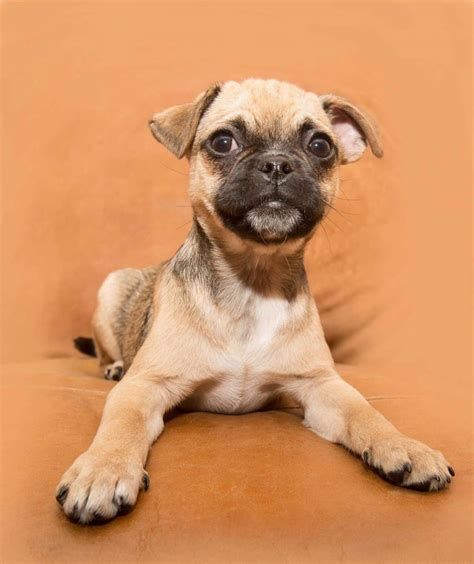 pugs for sale in staffordshire 7 8 pugs ready now vacc vet checked chipped stafford staffordshire pets4homes