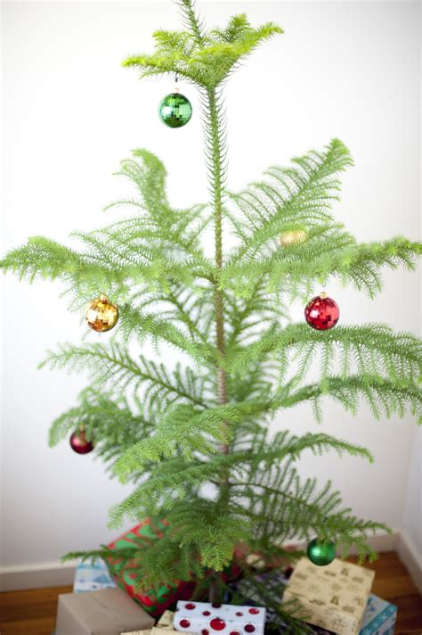 norfolk island pine christmas tree 8243 stockarch free