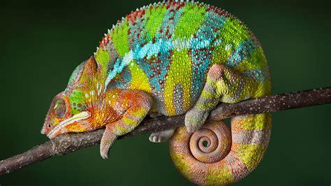 chameleon striped lizard sleep tail   desktop hd