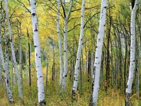 aspen tree autumn in the united states here is available world for us