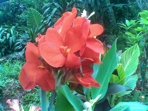 jual tanaman hias bunga tasbih merah wwwstewartflowersnet