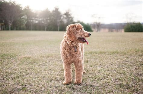 mini goldendoodles virginia 25 best ideas about f1b goldendoodle on f1b