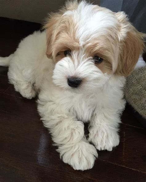 maltese poodle puppies 25 best ideas about maltese poodle on maltese poodle puppies maltese