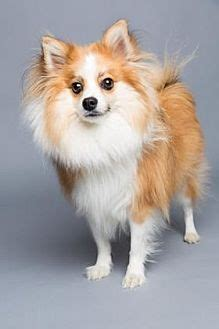 pomeranian rescue sc columbia sc pomeranian mix meet brinkley a for adoption