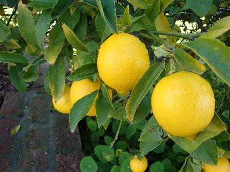 meyer lemon tree 5 lemon tree citrus seeds grow your own miniature tree next day shipping ebay