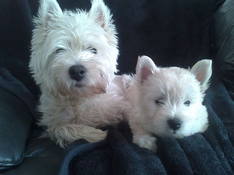 westie puppies for sale west highland terrier pups westies for sale bolton greater manchester pets4homes