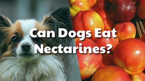 can dogs nectarines can dogs eat nectarines pet consider