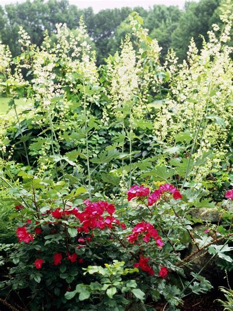 49 best tall border plants images on pinterest