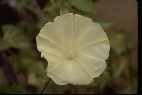 Morning Pharbitis Nil T1310 2 morning glories database ukon x i strain
